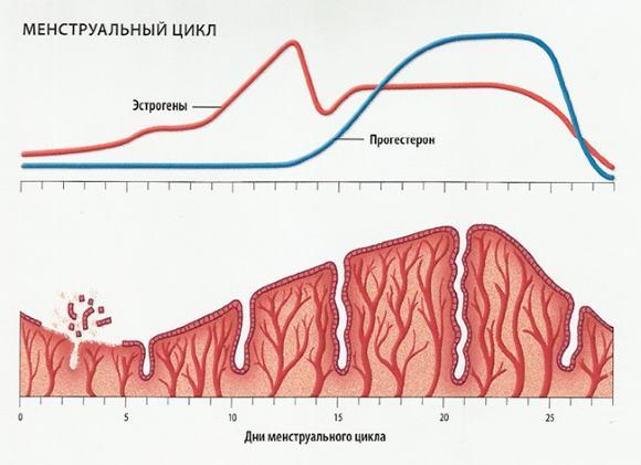 Периодические изменения в организме женщины репродуктивного возраста