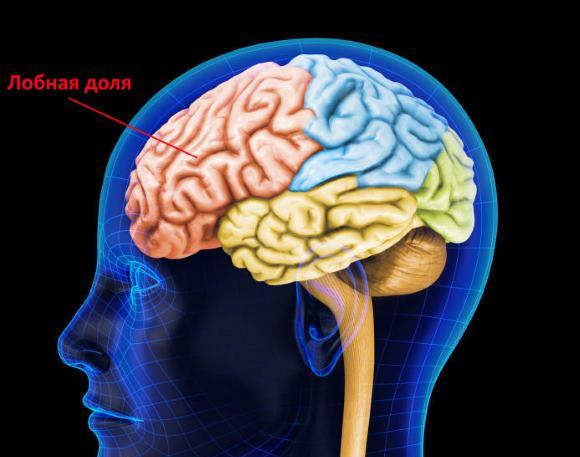 Лобный отдел коры больших полушарий отвечает за формирование мышления