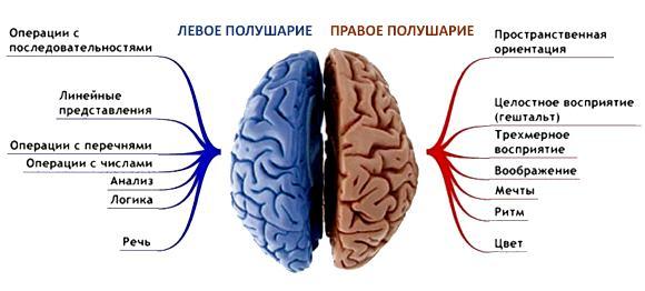 За что отвечает правое и левое полушарие головного мозга?