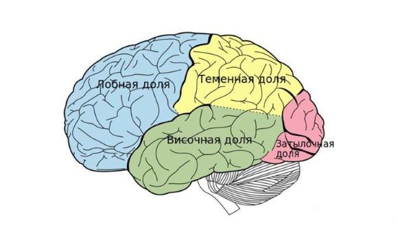 Каждый из отделов мозга отвечает за те или иные действия и реакции организма