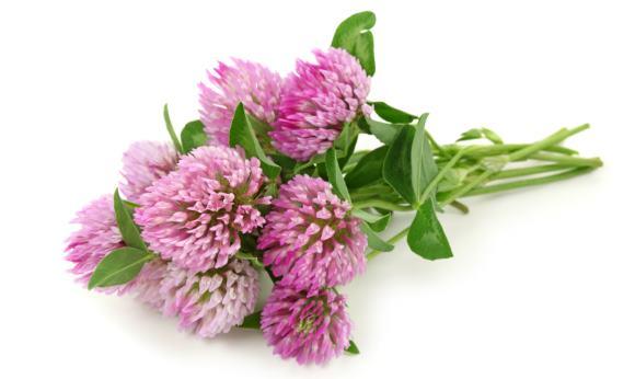 Отвары и настои из соцветий и листьев клевера применяются при цефалгиях
