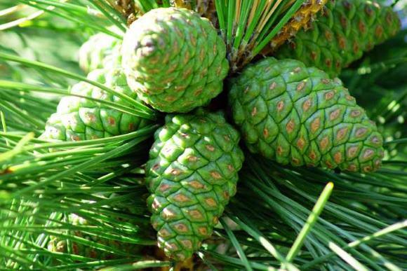 Сосновые шишки издревле используют для лечения ОНМК