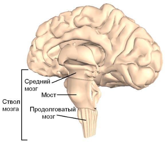 Ствол мозга является непосредственным продолжением спинного мозга