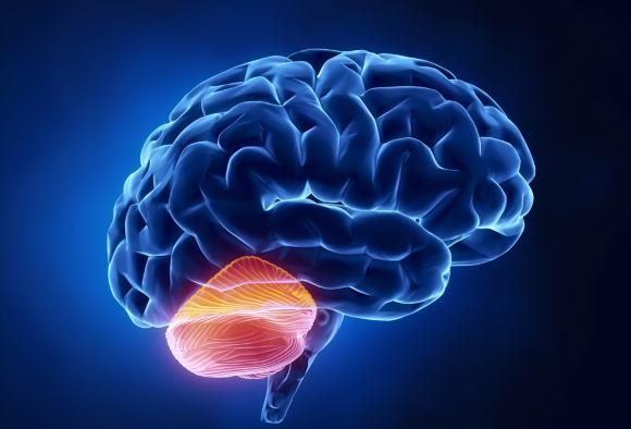Мозжечок отвечает за координацию наших движений