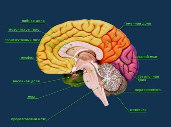 Анатомия мозга человека