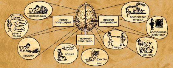 Функции больших полушарий мозга
