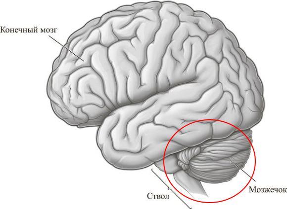 Мозжечок соединяется со стволом мозга тремя парами ножек