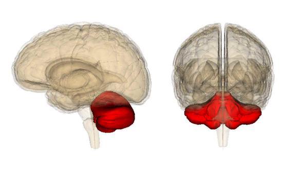 Мозжечок расположен в задней черепной ямке