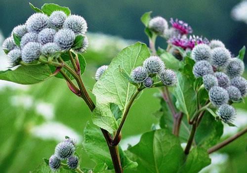 Лопух - прекрасное лечебное средство для борьбы с инсультом