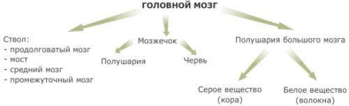 Анатомия мозга