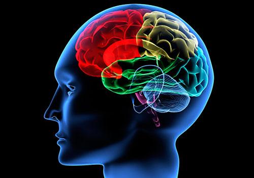 Структура головного мозга и кровоснабжение