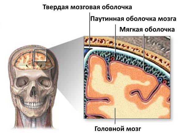 Головной мозг окружен тремя оболочками
