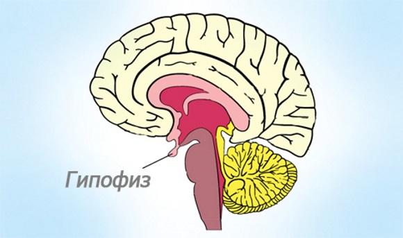 Гипофиз располагается у основания головного мозга