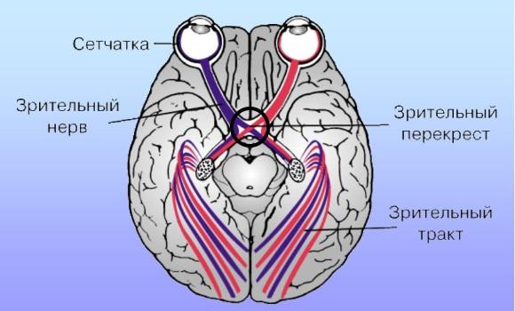 Перекрест зрительных нервов