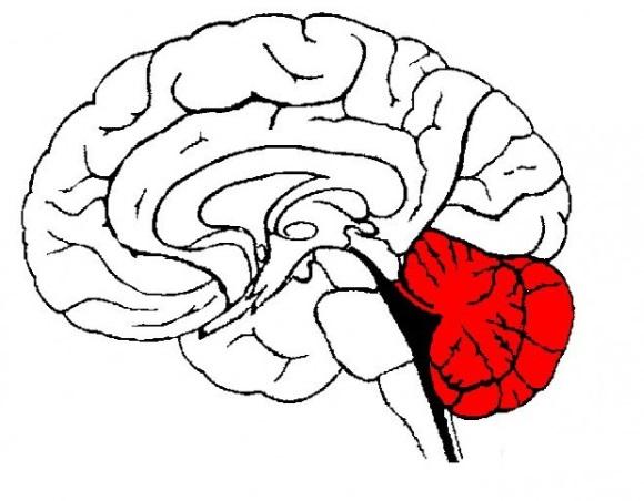 Мозжечок располагается в задней черепной ямке