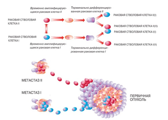 Различия раковых клеток первичной опухоли и метастазов по фенотипу