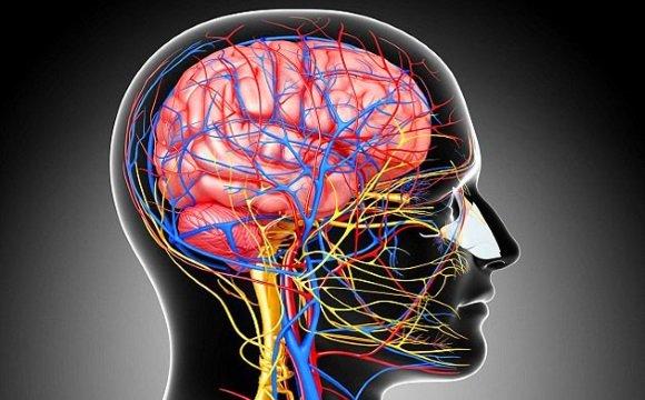 Артерии и вены головного мозга