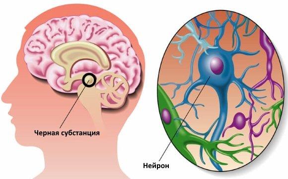 Черная субстанция отвечает за обеспечение синтеза дофамина