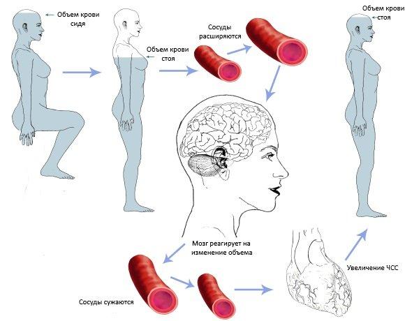 Изменение объема крови при смене положения тела