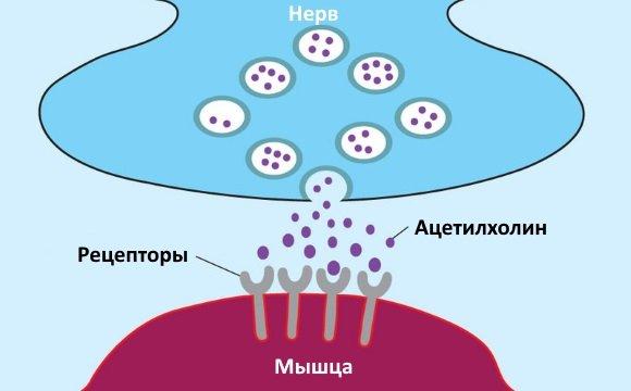 Медиатор нервных импульсов в синапсах ПНС