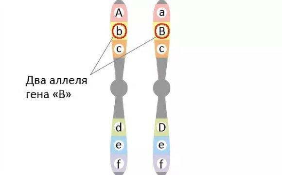 Аллеломорфы