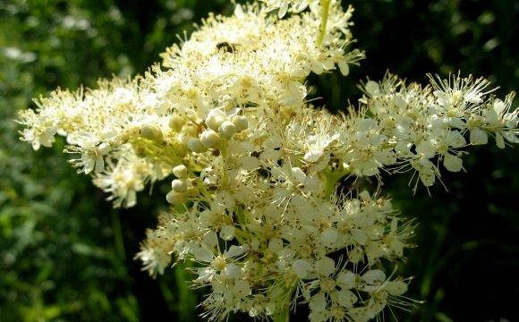 Цветки вязолистной таволги