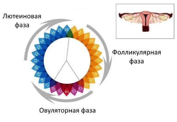 Фолликулярная фаза, овуляция, лютеиновая фаза