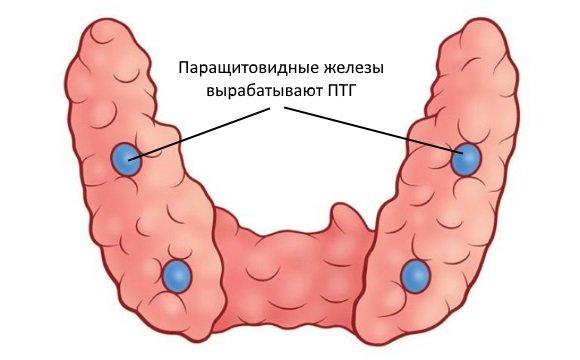 Паратиреоидный гормон производится паращитовидными железами